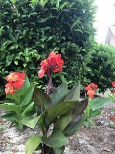 Canna perinnal plant